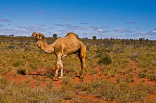 One humped camel in outback.jpg